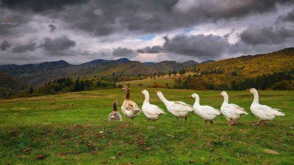 Goose, Animal, Bird