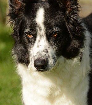 Collie, Dog, Animal, Summer, Pet, Nature, Outdoor