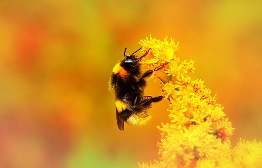 Bumblebee Gas, Insect, Pszczołowate, Apiformes, Animals