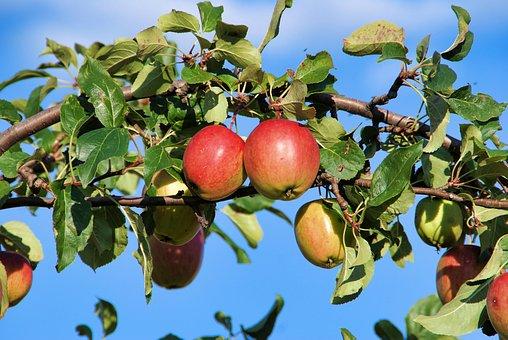 Apple, Tree, Nature