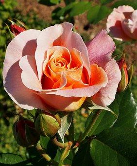 Rose, Flower, Plant, Apricot-colored Rose, Petals, Bud