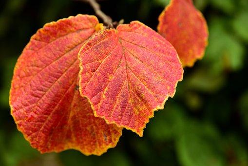 Leaf, Autumn, Nature, Leaves, Fall Foliage, Red