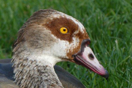 Nile Goose, Head, Eyes, Feathers, Bird, Beak
