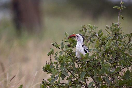 Bird, Large Beak, Tanzania