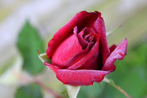 Red Rose, Rose, Red, Drops Of Dew, Bloem, Bloesem