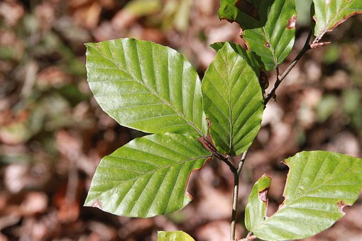 Leaves, Beech, Tree, Landscape, Branch, Deciduous Tree
