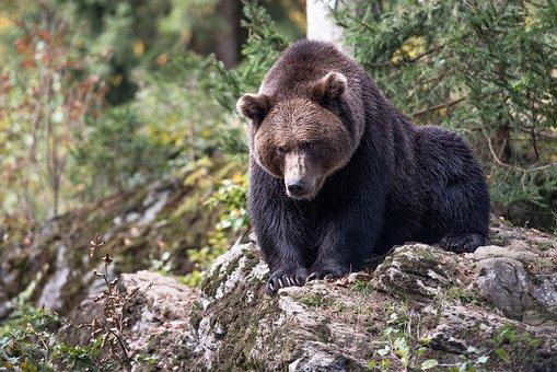Brown Bear, Bear, Teddy Bear, Nature, Mammal, Predator
