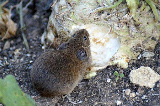 Mouse, Field Mouse, Wood Mouse, Celery, Eat, Food