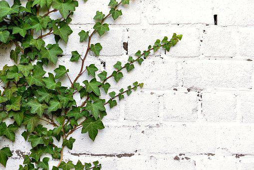 Ivy, Entwine, Climber Plant, Leaves, Ivy Leaf