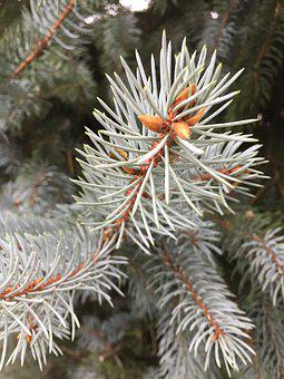 Blue, Spruce, Nature, Forest, Needles, Trees, Conifer