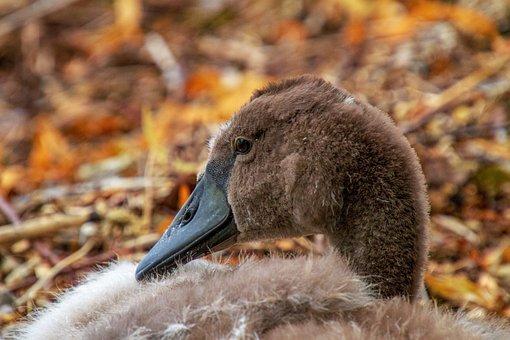 Swan, Young Swan, Young, Bird, Animal World, Cute
