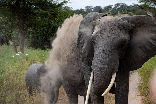 Elephant, Dust, Dirt, Safari