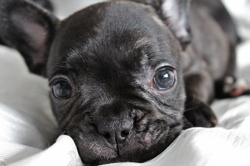 Puppy, Dog, Nice, Mammal, Beautiful, French, Animal