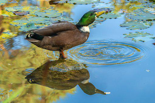 Duck, Mallard, Drake, Pond, Mirroring