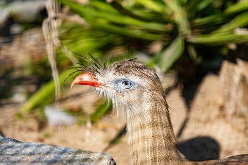 Cariama, Bird, Animal, Beak, Crest, Feathers