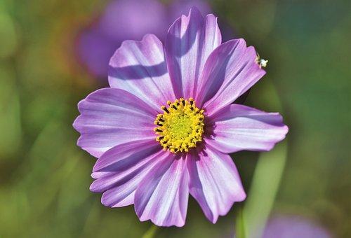 Cosmea, Flower, Cosmos, Blossom, Bloom, Purple, Plant