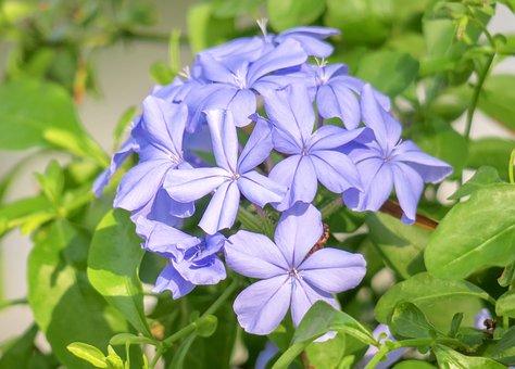 Blue Flower Dan, Flower, Plant, Nature, Bloom