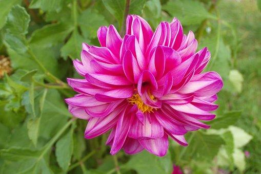 Dalia, Flower, Garden, Pink, Plant