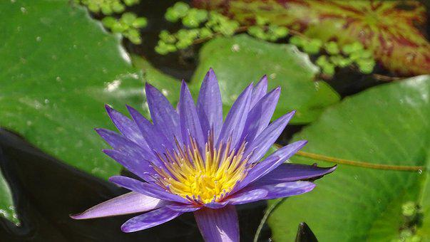 Flowers, Water, Lily