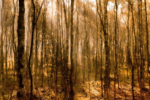 Autumn, Birch, Birch Forest, Nature, Landscape, Forest
