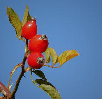 Wild Rose, Fruit, Red, Nature, Plant