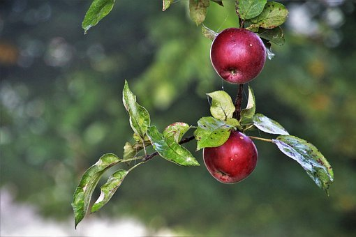 Apples, Branch, Apple, Fresh, Garden, Mature, Plant