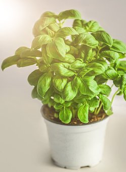 Basil, Herb, Green, Healthy, Herbs, Spice, Fresh