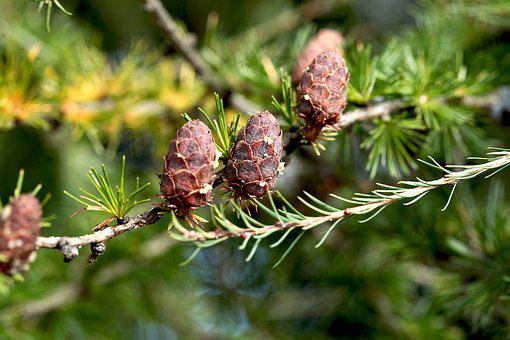 Pine Cone, Larch, Pins, Twig Of Larch, Nature