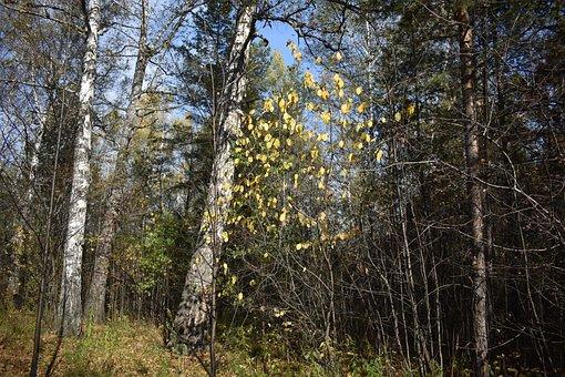 Forest, Autumn, Birch, Aspen, Yellow, Sheet, Leaves