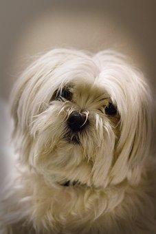 Maja, Maltese, Dog, Small, Sweet, Cute, Long Haired