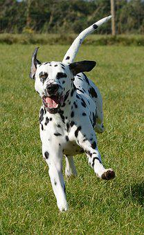 Dalmatian, Dog, Animal, Pet, Mammal, Playful, Running