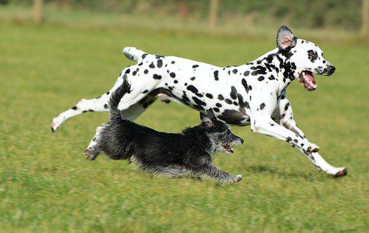Dalmatian, Terrier, Dogs, Animal, Pet, Mammal, Playful