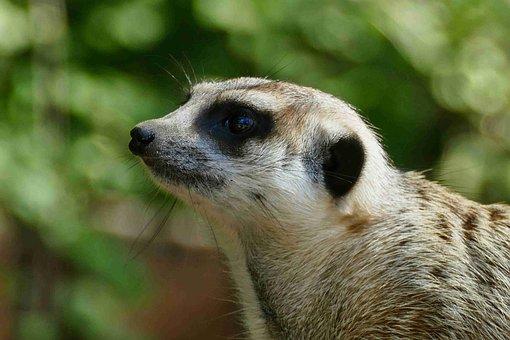 Meerkat, Animal, Scharr Cat, Suricata Suricatta