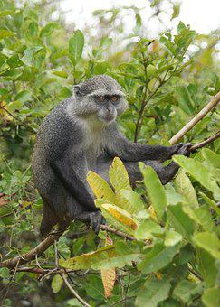 Blue Monkey, Zanzibar, Monkey, Nature, Island, Africa