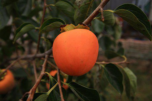 For Salary, Persimmon, Nature, Fruit, Agriculture