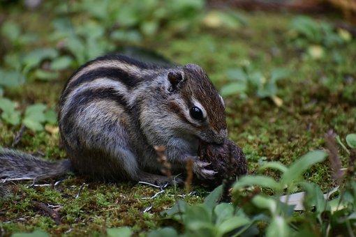 Animal, Squirrel, Chipmunk, Nuts, Walnut