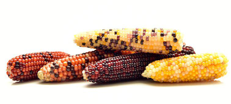 Corn, Ornamental Corn, Decoration, Cereals
