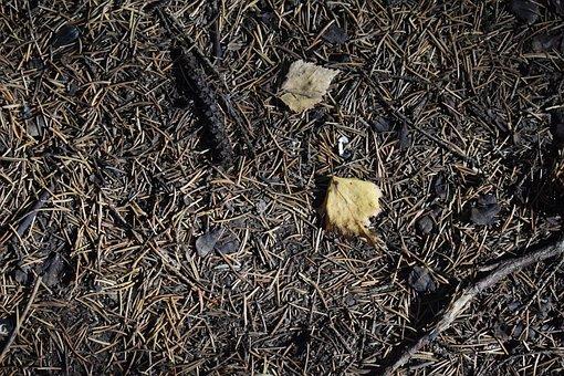Needle, Pine, Spruce, Foliage, Leaves, Fallen