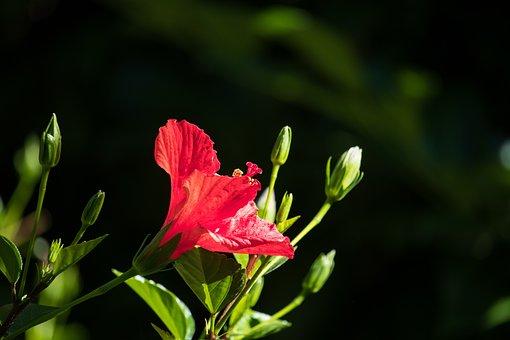 Hibiscus, Flower, Plant, Blossom, Bloom