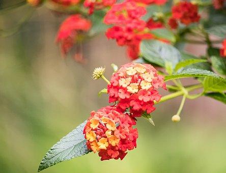 Blossom, Bloom, Plant, Ornamental Plant, Flower, Summer