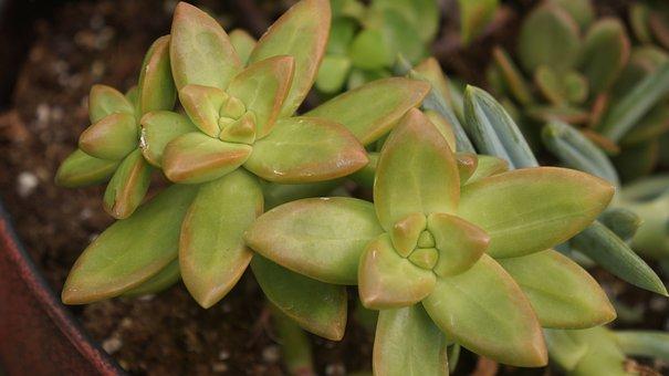 Succulents, Plants, G, Green, Nature, Natural, Garden