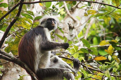 Red Monkey, Zanzibar, Animal, Nature, Africa, Primate