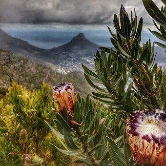 Protea, Lions, Head, Cape, Town