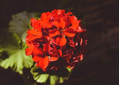 Hydrangea, Flower, Red, Blossom, Garden, Nature, Flora