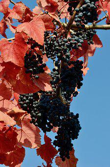 Red Wine, Grapes, Wine, Winegrowing, Fruit, Autumn