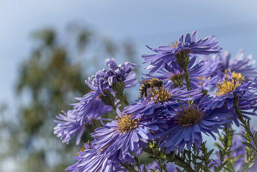 Asters, Flowers, Shrub, Blossom, Bloom, Bee, Insect
