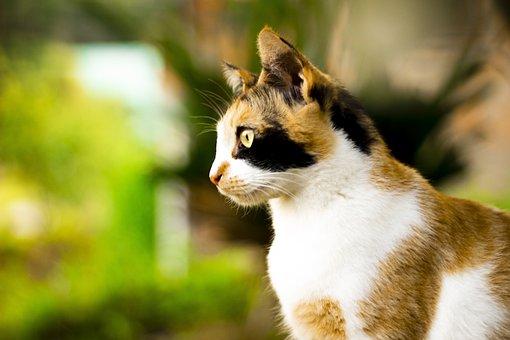 Cat, Pet, Animal, Skins, Mieze, Portrait, Vista, Kitten