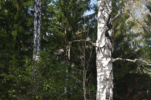 Forest, Autumn, Birch, Spruce, Sky, Landscape, October
