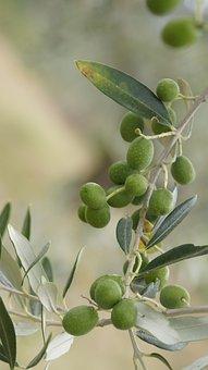 The Olives, The Olive Tree, Olive Grove, Tuscany, Italy
