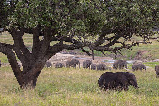 Elephant, Tree, Safari